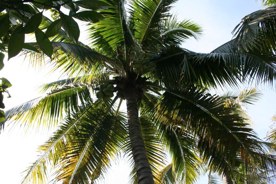 Пальмы, кокосы, Китай