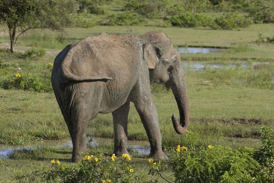 слон, принимающий грязевые ванны