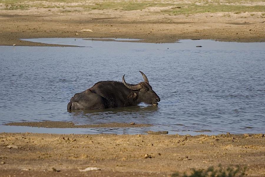 буйвол, дремлющий в болоте