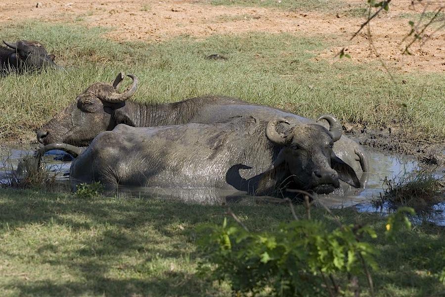 буйволы в Национальном парке Яла