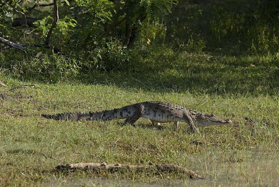 крокодил в Национальном парке Яла