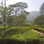 Шри-Ланка: как производят цейлонский чай. Репортаж с фабрики
