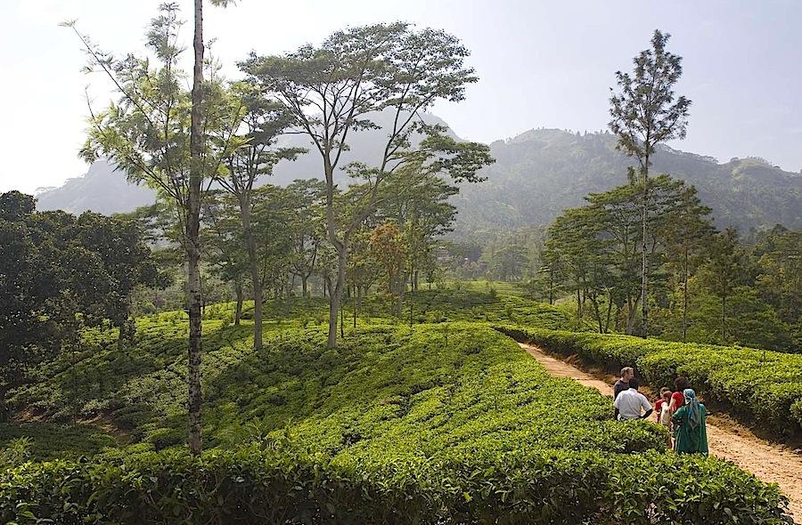 чайная плантация, Шри-Ланка