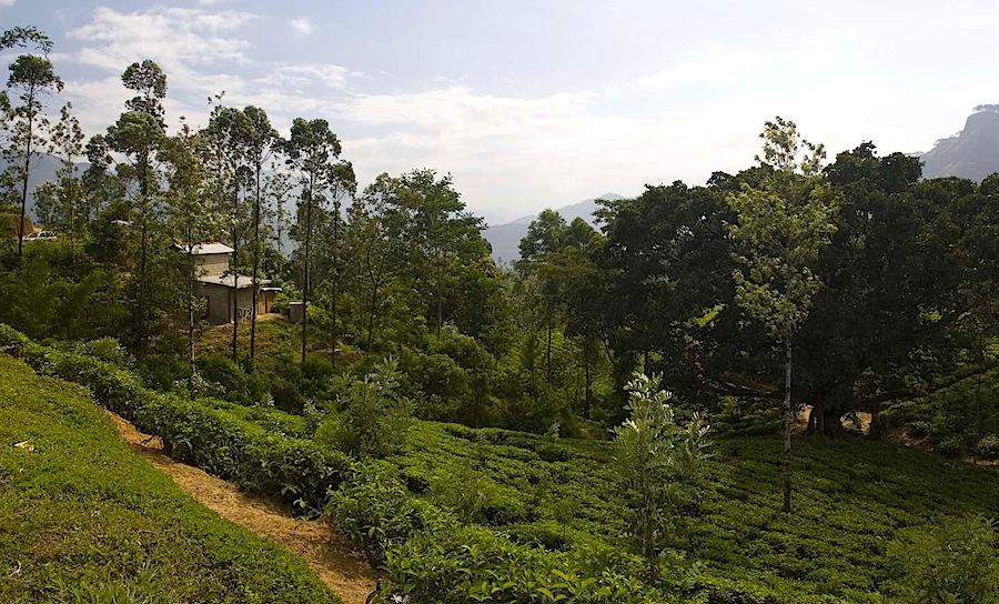 чайная плантация Навара Элия