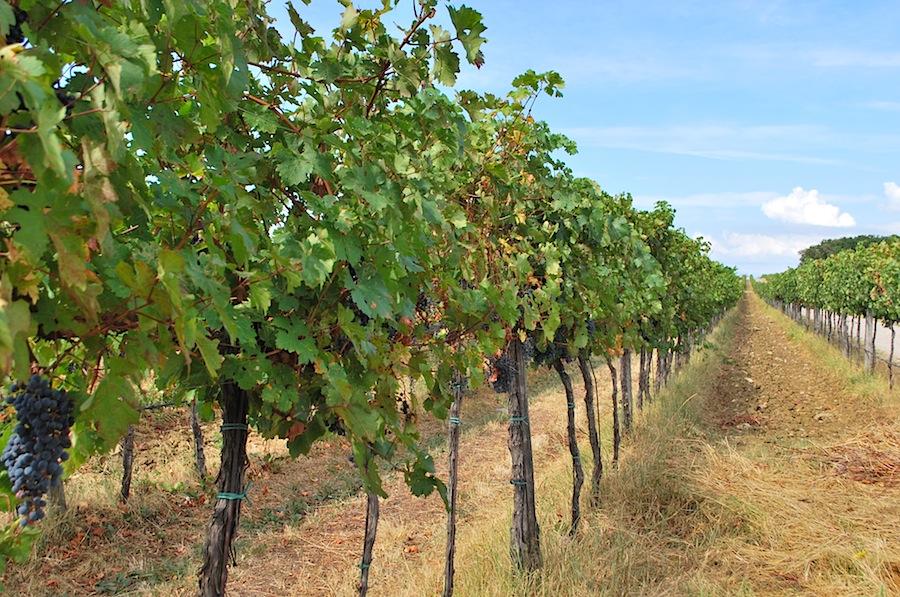 виноградные плантации близ Копера