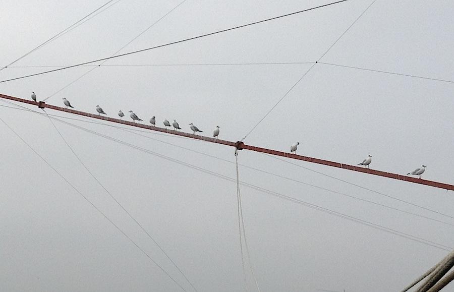 чайки терпеливо ждут своей очереди