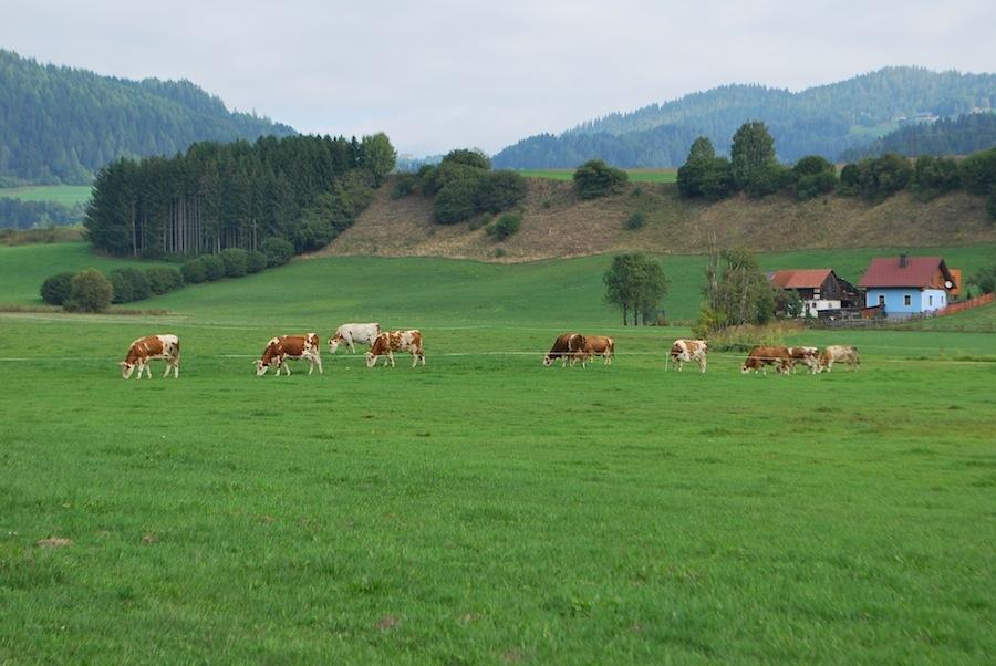 альпийские луга и мирно пасущиеся на них коровы