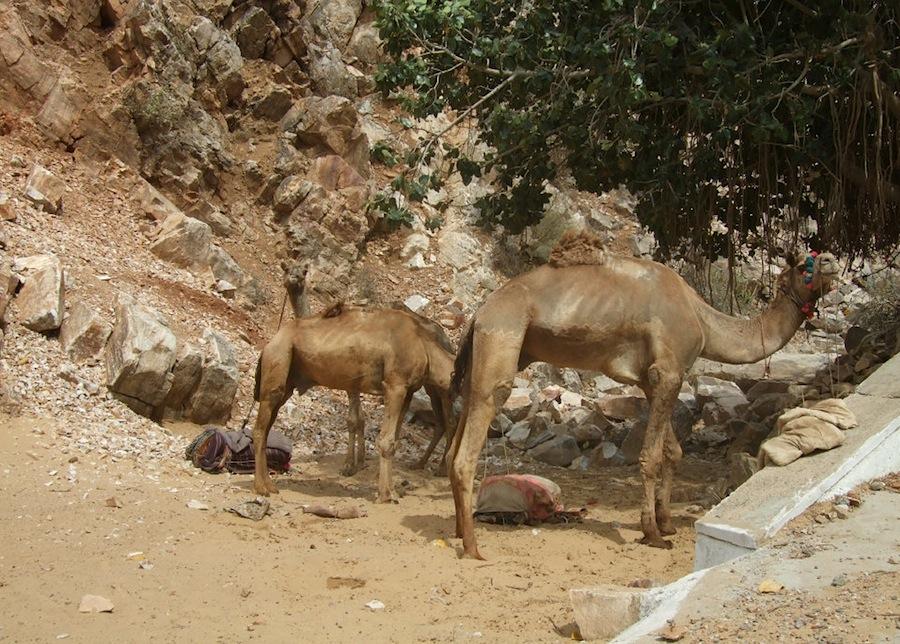 Верблюды, которые живут в пустыне вокруг Пушкара