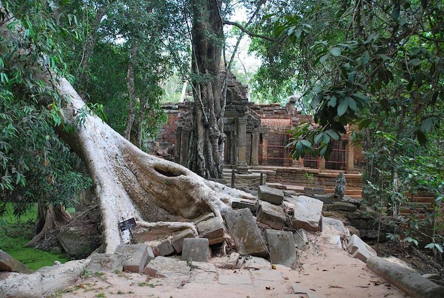 руины и деревья в Ангкоре