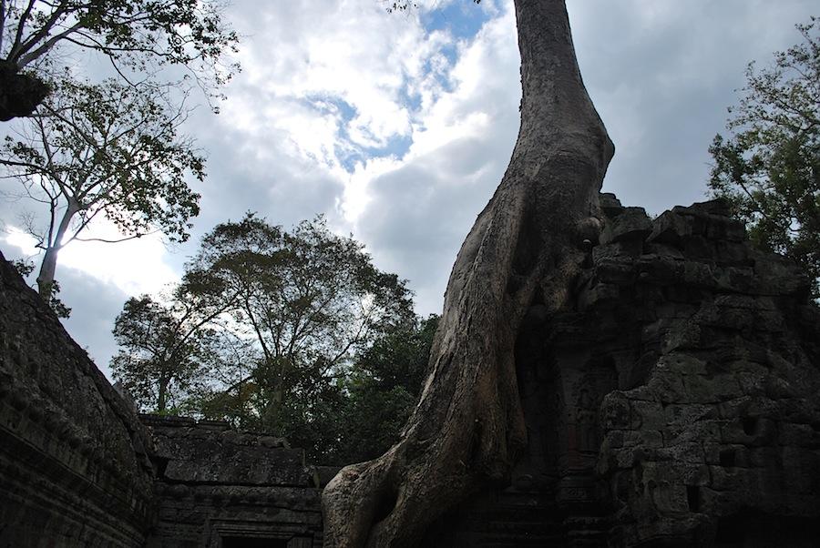 деревья, оплетающие храм Та Прохм