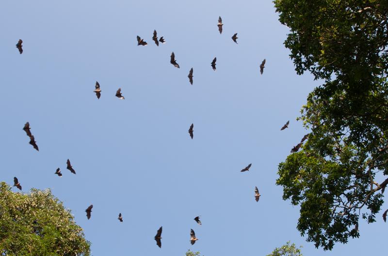 полет летучих лисиц