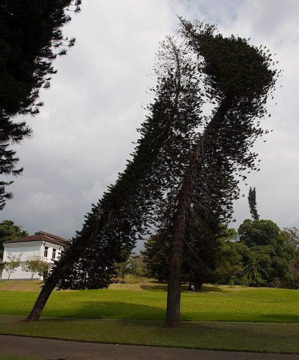 изогнутые деревья в Королевском саду