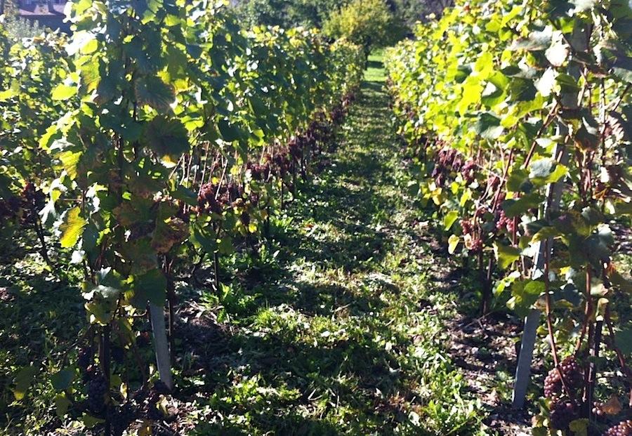 виноградники в Оллоне