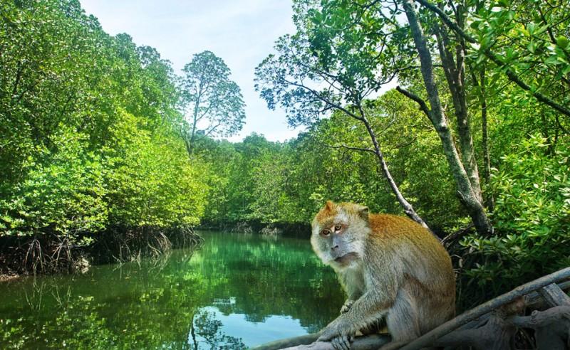 Обезьяна в мангровых джунглях