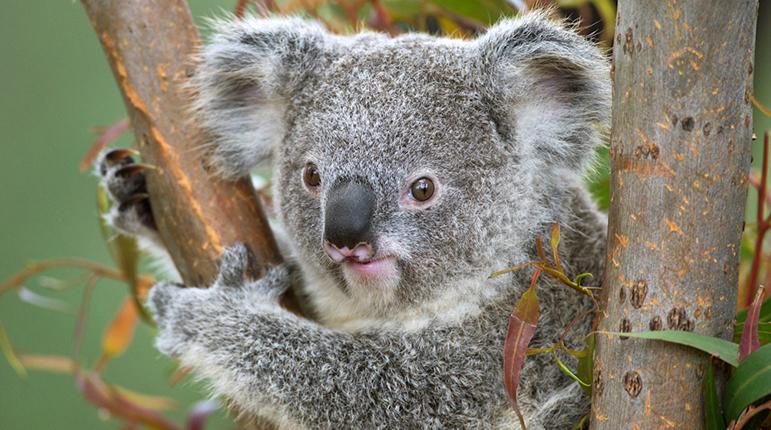 коалы в зоопарке Сан-Диего