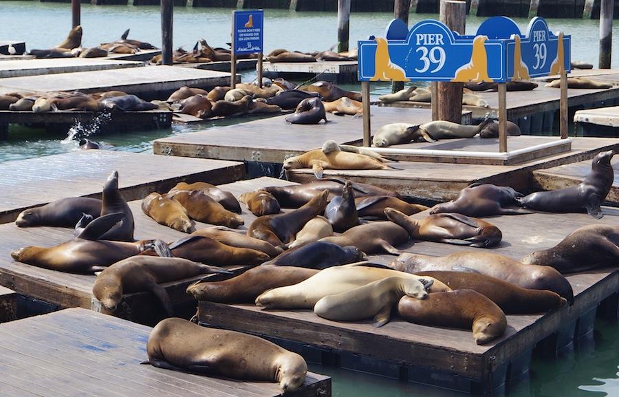 морские котики на пирсе 39
