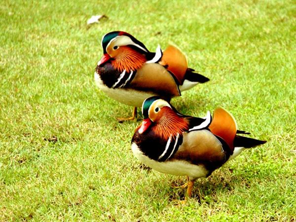 Утки в Парке птиц
