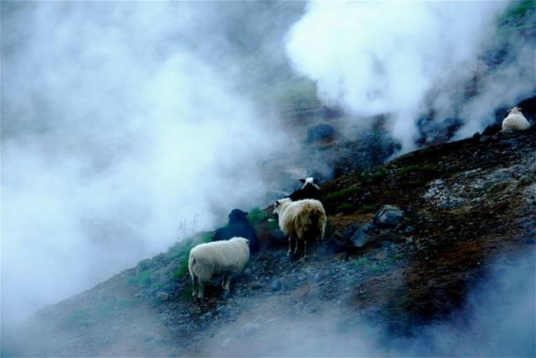 исландские овцы