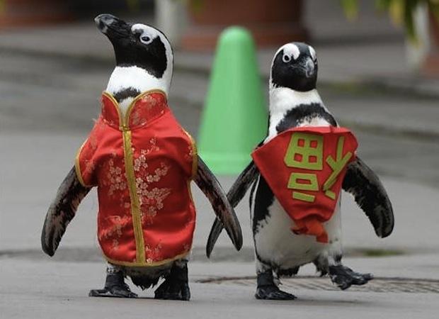 пингвины в китайских народных костюмах