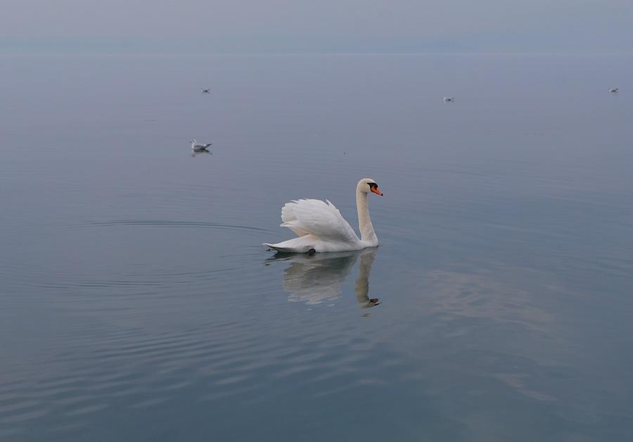 на озере Гарда проживают лебеди