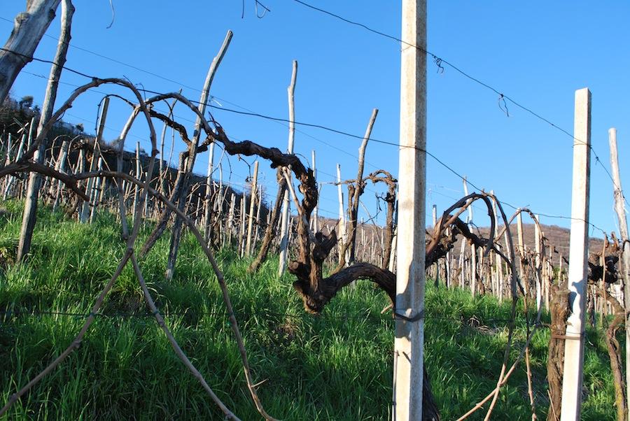 виноградная лоза в Картице (Cartizze)