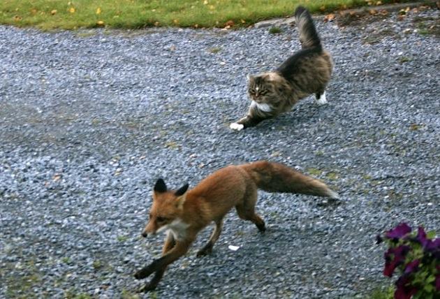 норвежский лесной кот преследует лису, фото dailymail.co.uk