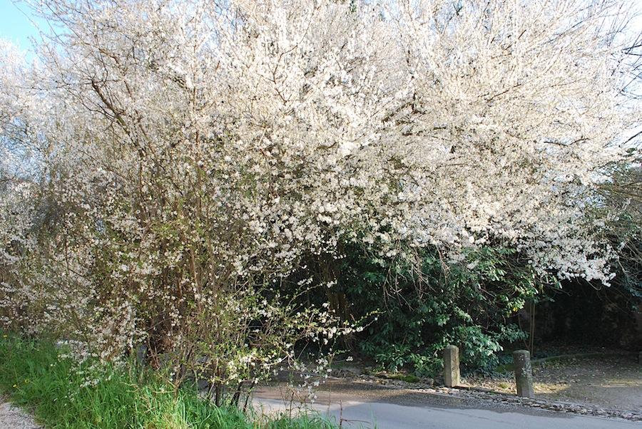 цветущие деревья на Эуганских холмах