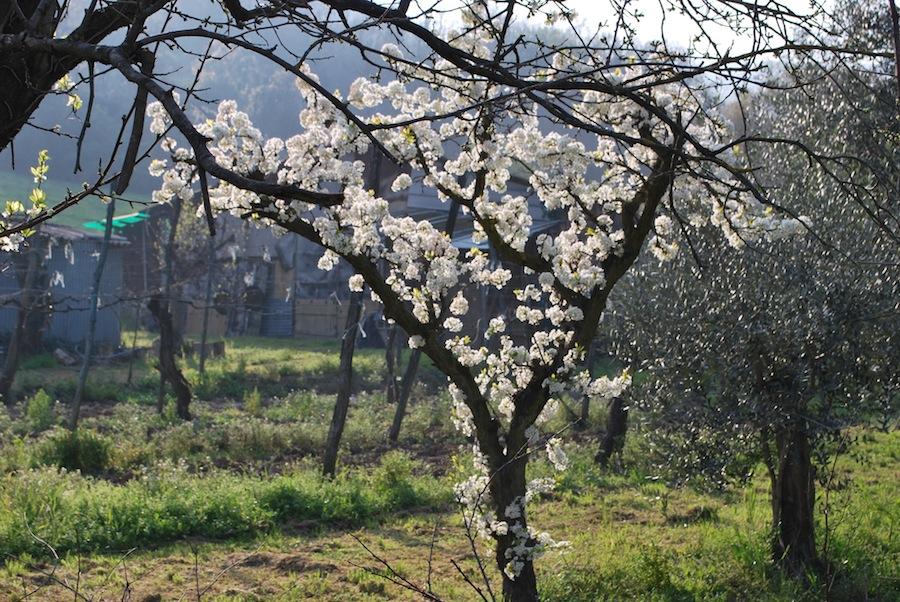 весеннее цветение фруктовых деревьев
