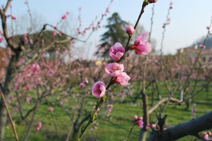 цветение фруктовых деревьев в Италии