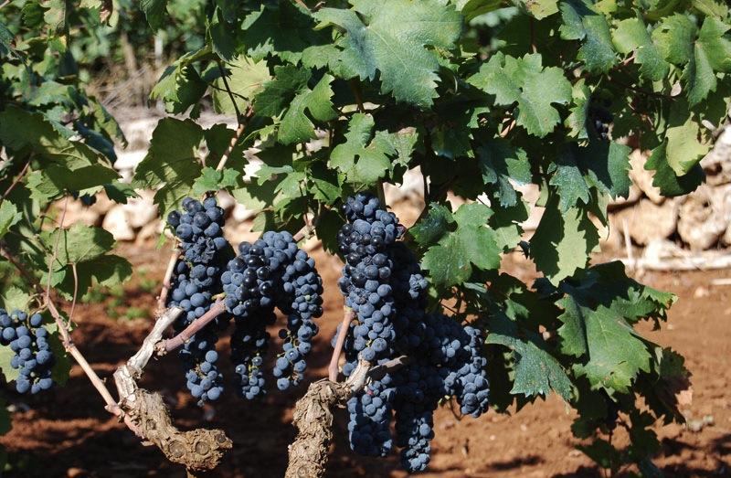 Виноградники Primitivo di Manduria