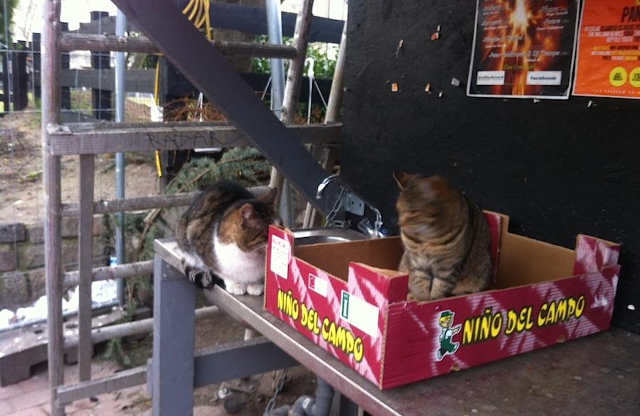 толстые местные коты