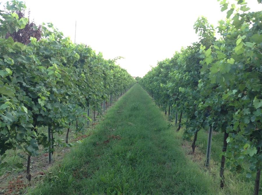виноградные лозы Словения