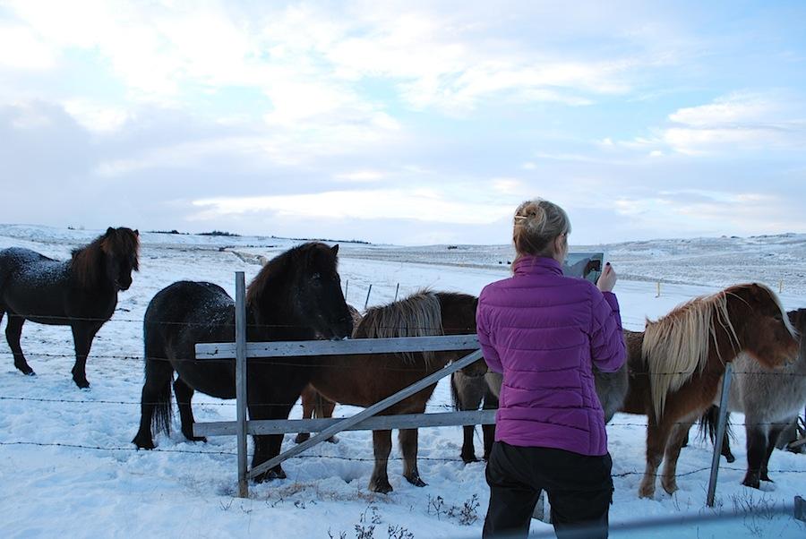 знакомлюсь с исландскими лошадками