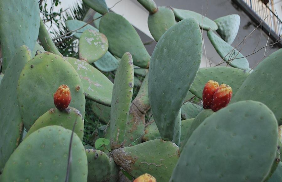 кактусы опунция с красными плодами