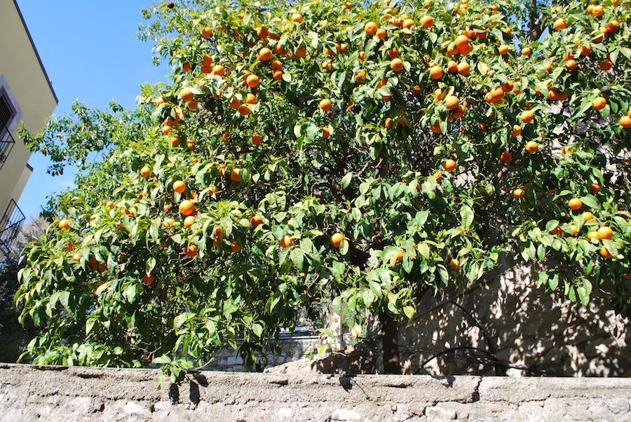 апельсины растут прямо на улицах