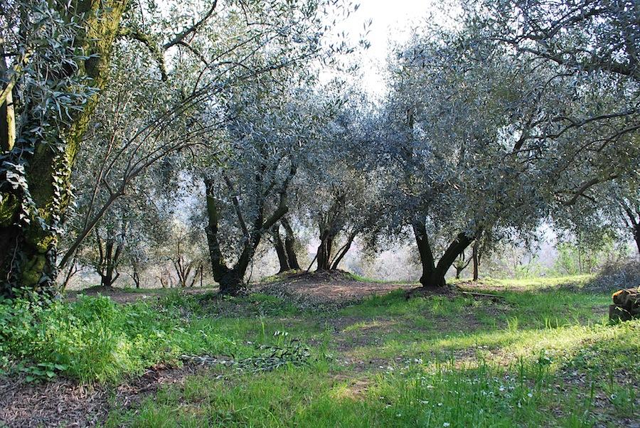 оливковые деревья на Эуганских холмах