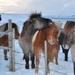 Исландские лошади: мохнатое чудо природы