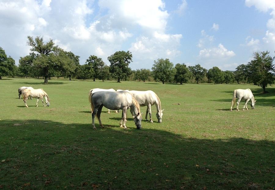 белоснежные лошади в Литии