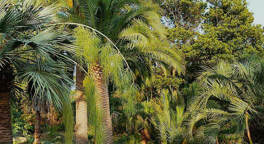 пальмы в Jardí Botànic Marimurtra