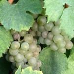 Какое итальянское вино пить летом?