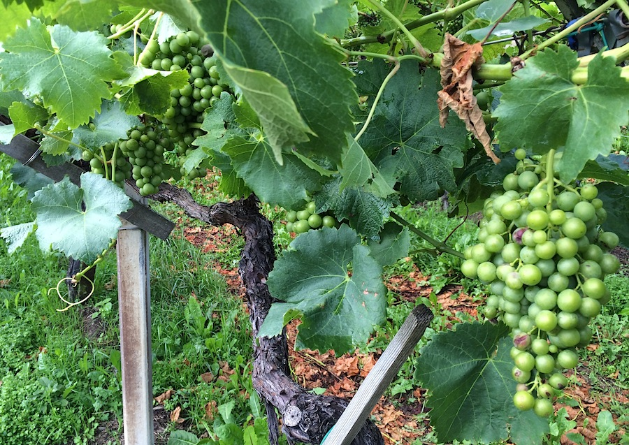 виноградные плантации в Южном Тироле