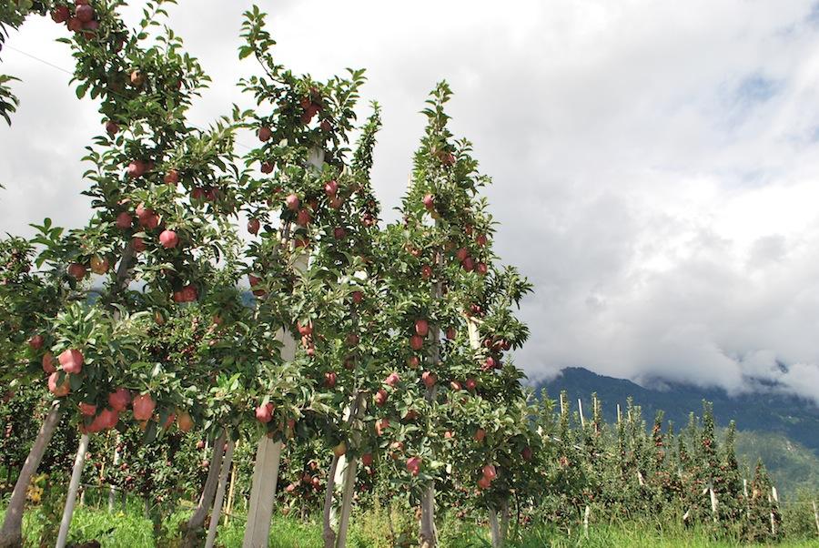 яблочные плантации Южного Тироля