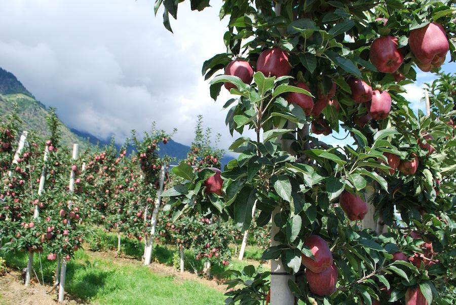 яблони, Южный Тироль