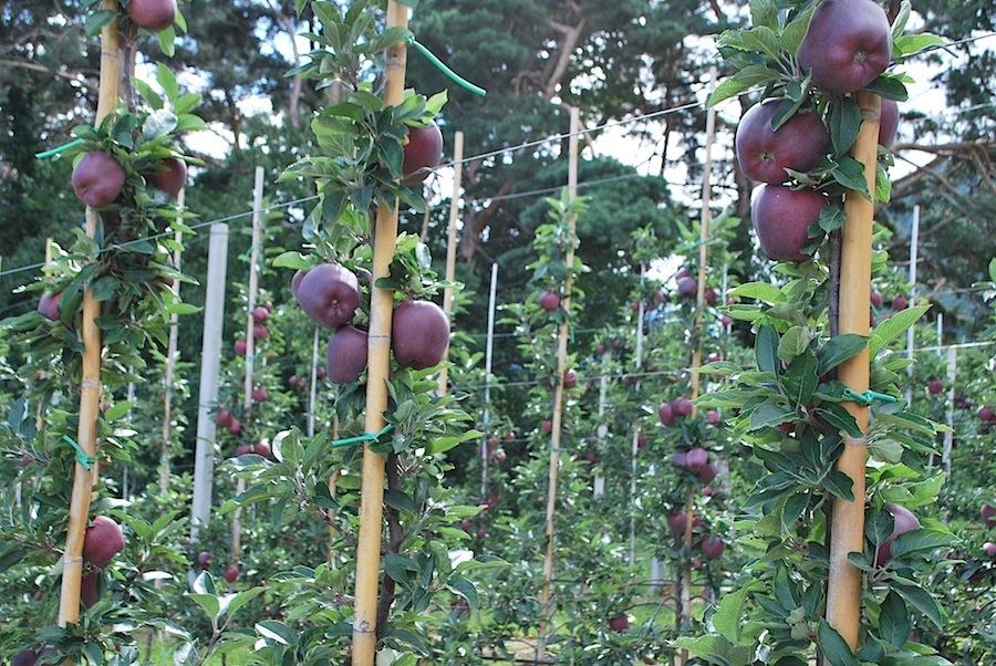 яблочные плантации, Тироль