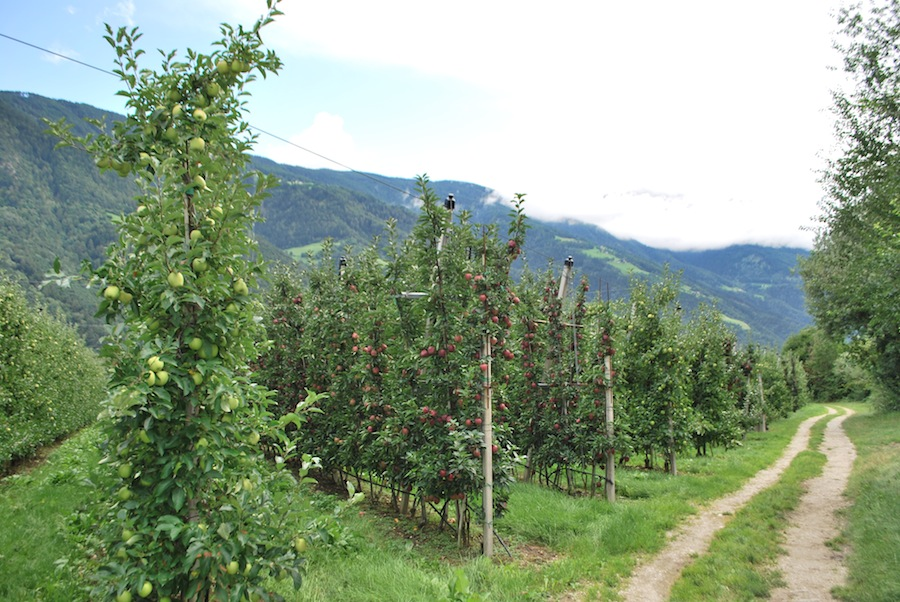 яблоки Южного Тироля