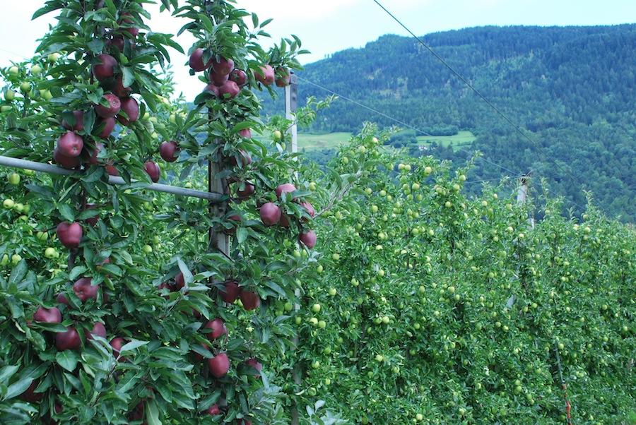 яблочные плантации, Южный Тироль