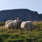 Овцы в Шотландии: фото и немного наблюдений