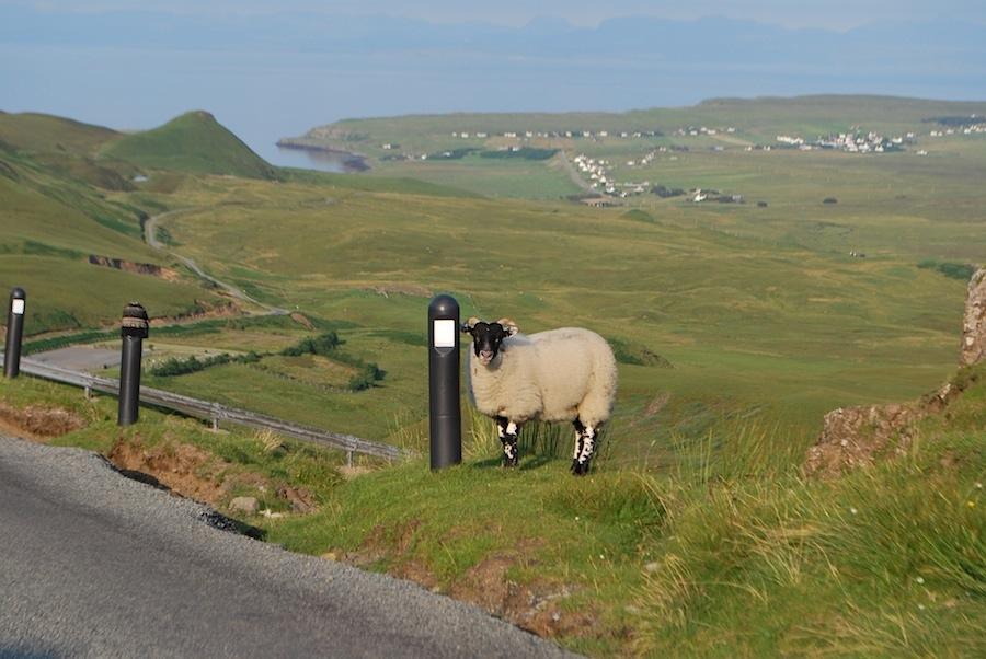 овцы Шотландия