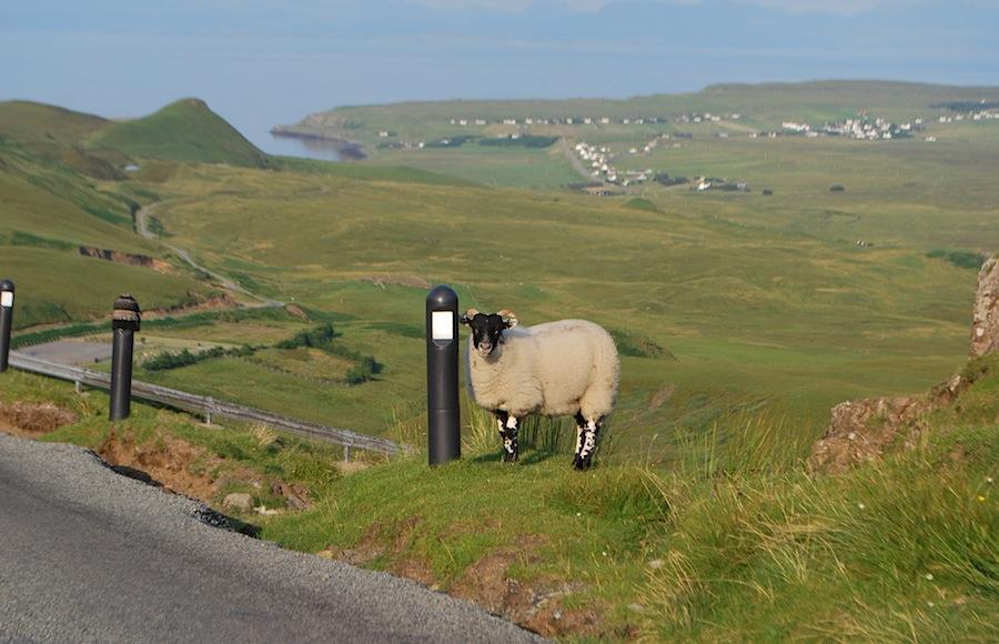 овцы - символ Шотландии