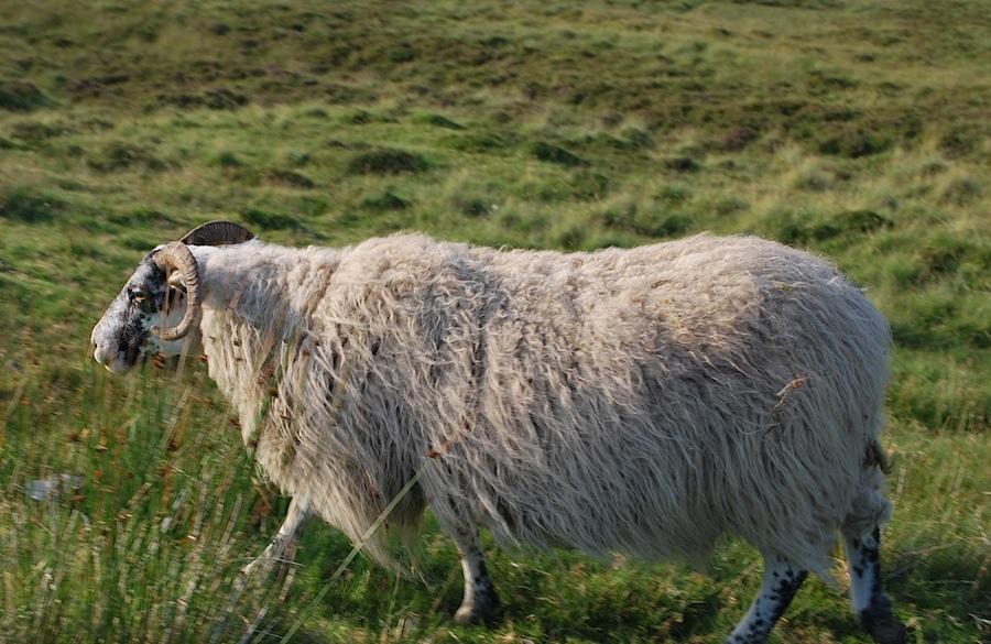 овца в Шотландии